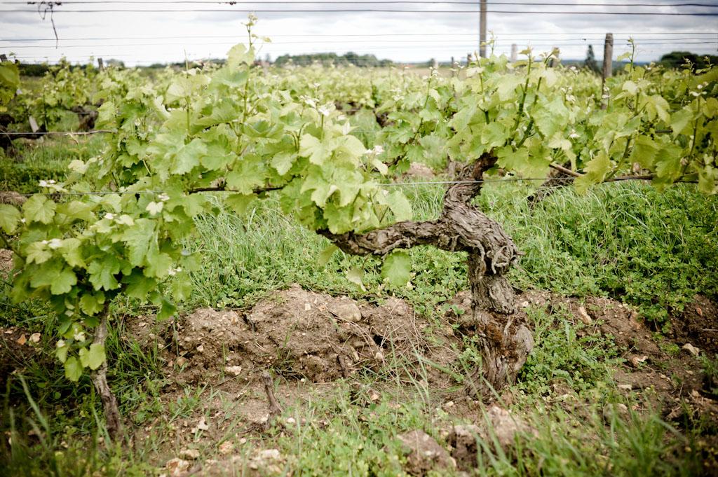 Vigna di Sauvignon di Bruno Allion a Thesèe