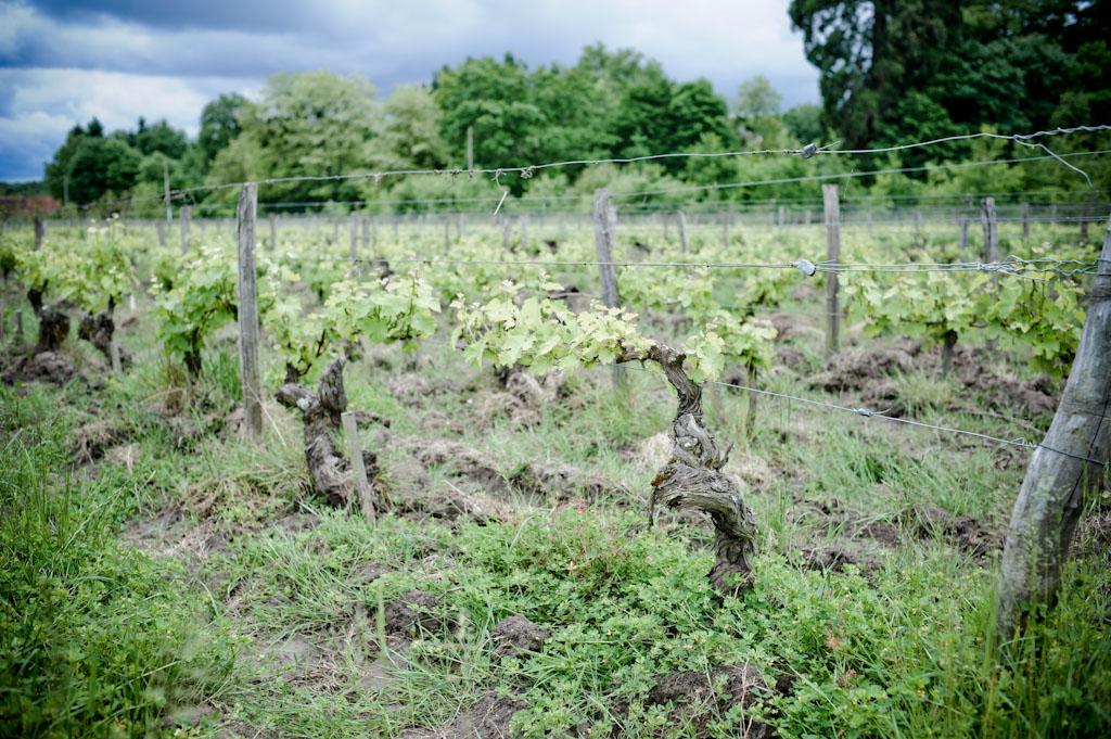 Vecchie vigne di Sauvignon a Cheverny