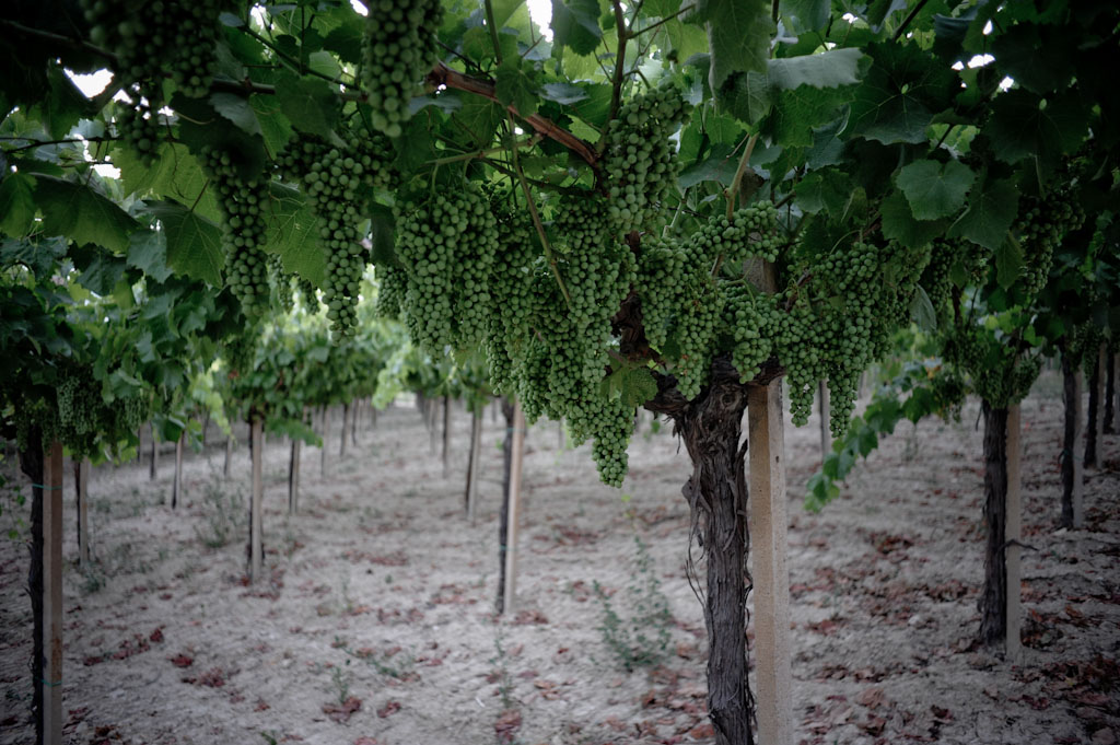 Le uve di nero d'avola da cui si produce Erbatino di Gueli