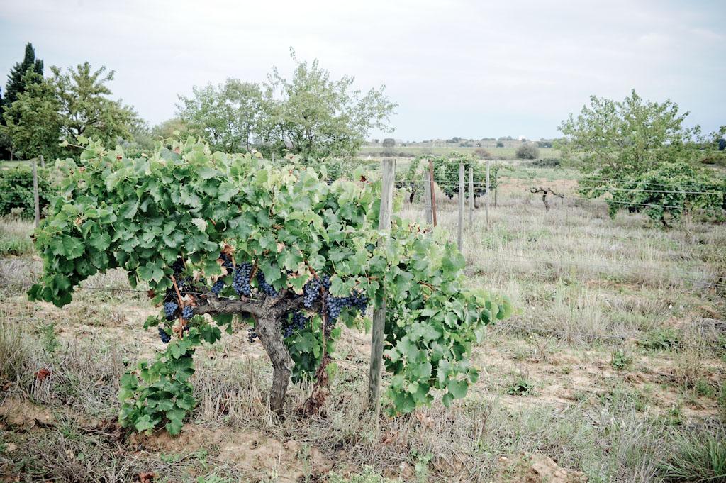 Grenache a Domaine de Rapatel, vini naturali senza solfiti