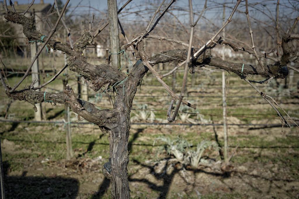 Vigna vecchia di Trebbiano di Cantina Margo di Carlo Tabarrini
